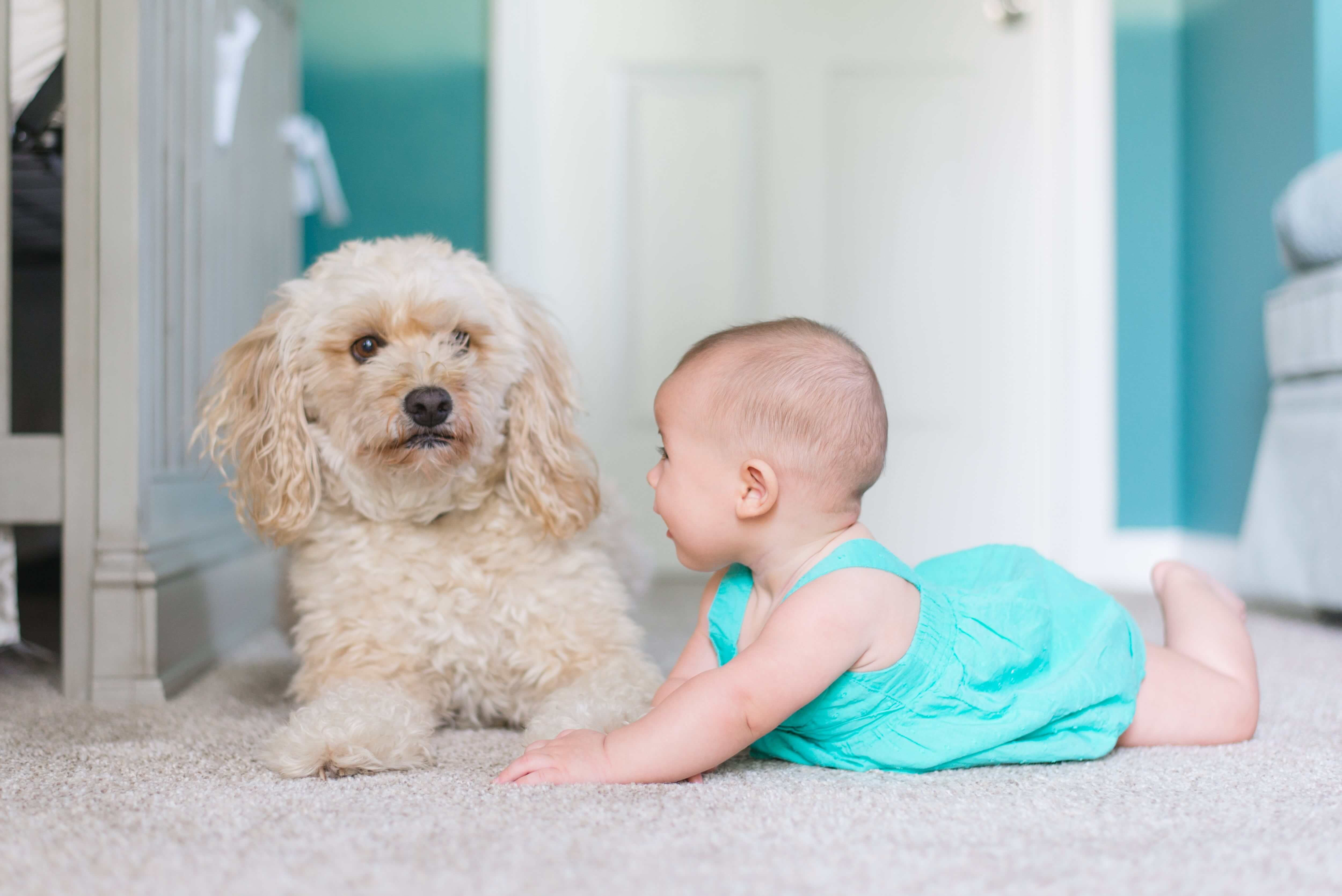 Carpet Cleaning in Puyallup removes pet allergens