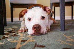 dog laying on clean carpet